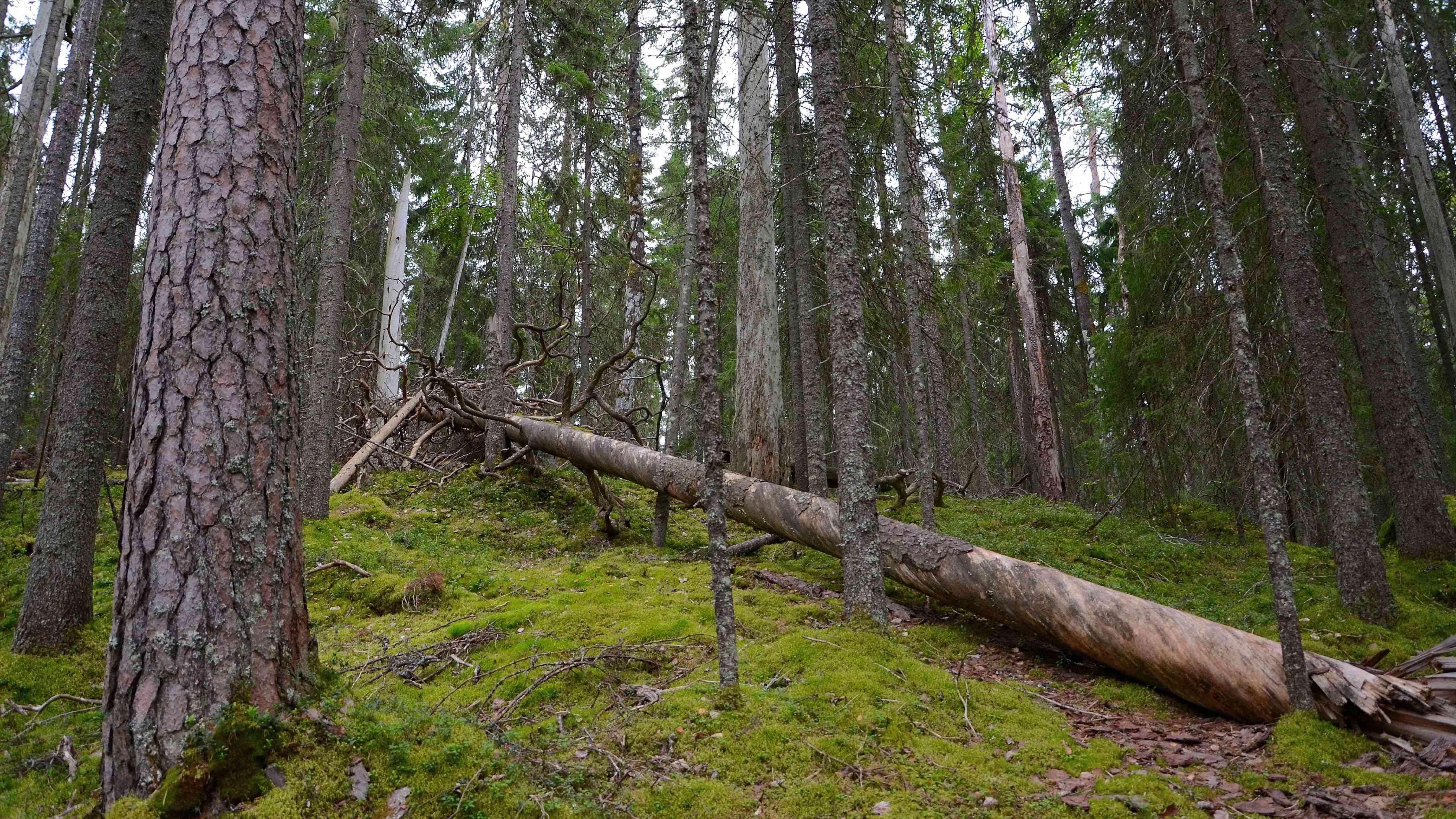 Luonnonsuojelu on alkuperäisen luonnon suojelua ja palauttamista
