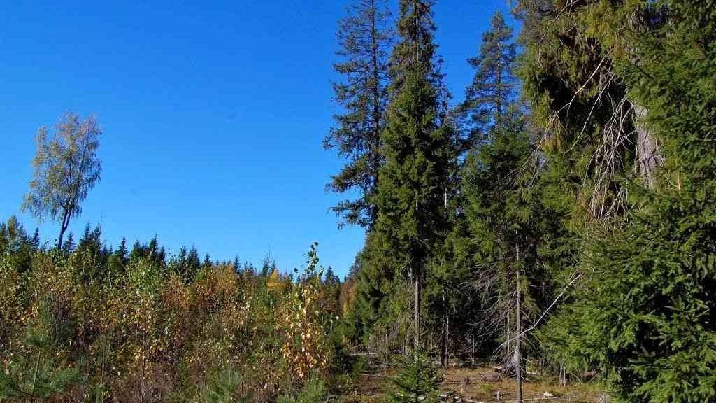 Avohakkuuaukko Vattulan vanhan metsän vieressä