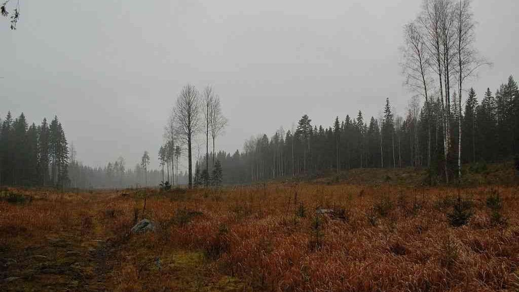 Alle 10 vuoden aikana avohakattua kaupungin metsää Pulesjärven lohkolla Kintulammen eteläpuolella (Kuvio 242)