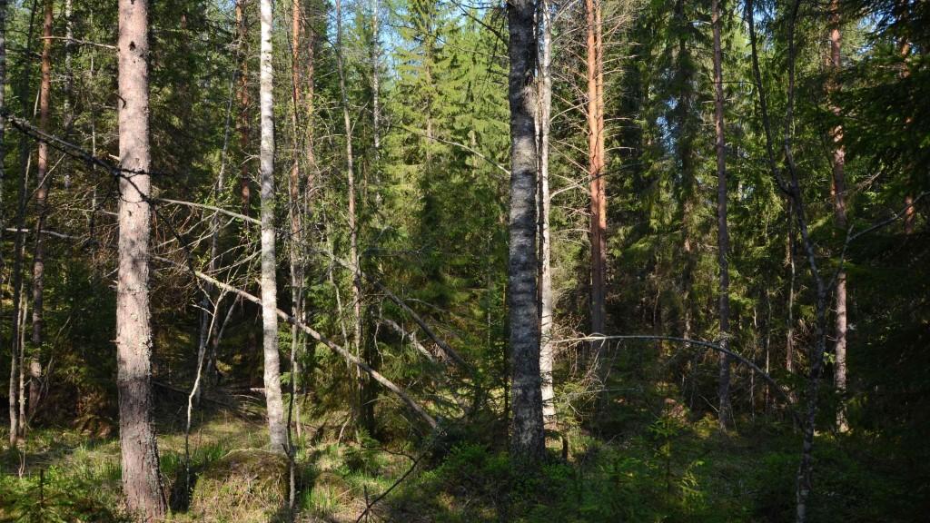 UPM:n omistamaa metsää Kintulammin tulevan suojelualueen vieressä