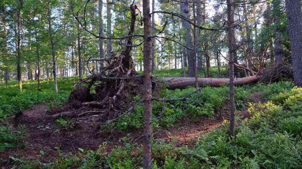 Kesällä 2013 puun ympärille oli muodostunut kiertopolku